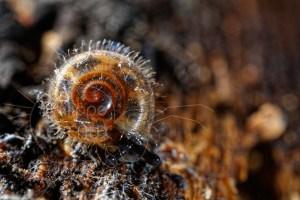 Escargot du sol avec poils