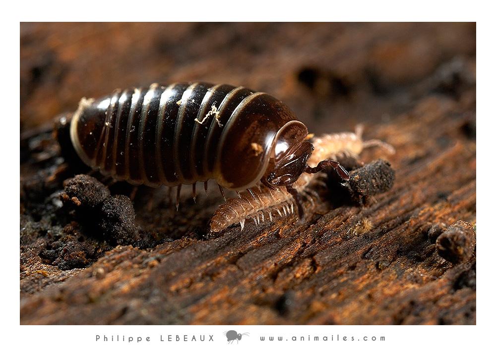 Myriapodes : Glomeris sp. et diplopode sp.