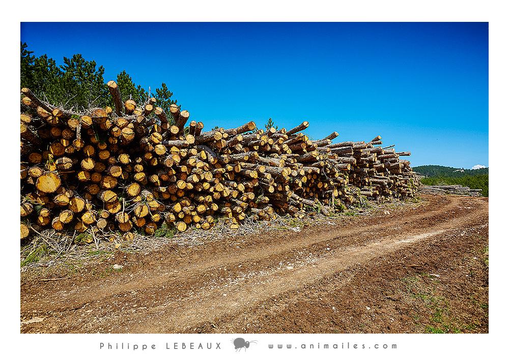Coupe de bois le long d'un sentier