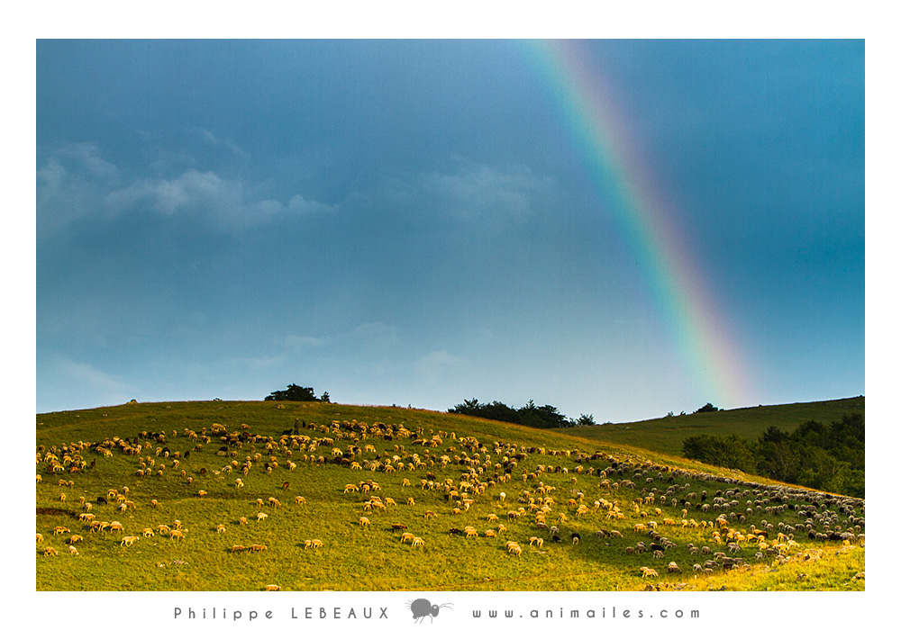 Arc-en-ciel sur la plaine du Lingas avec moutons