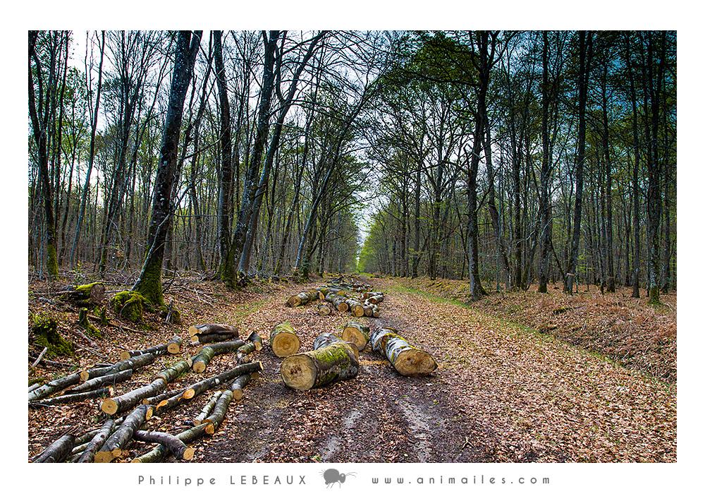 Coupe de bois sur un sentier forestier
