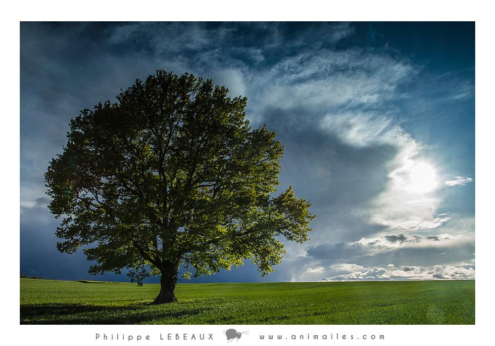 Chêne dans un champs cultivé