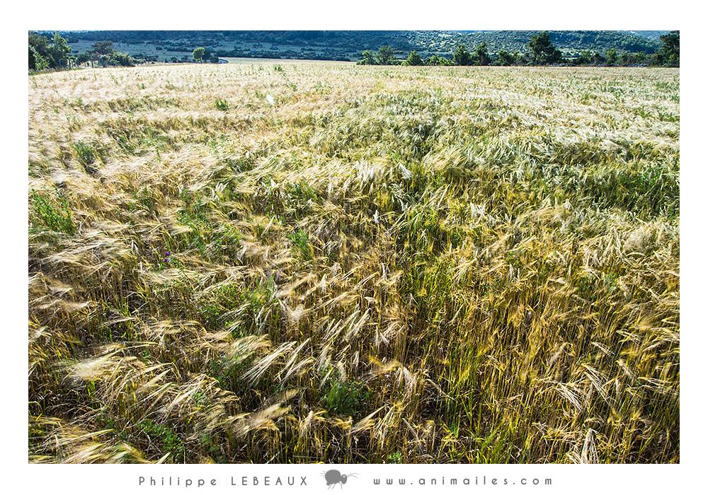 Champs de blé sur le Causse de Blandas (Cévennes)