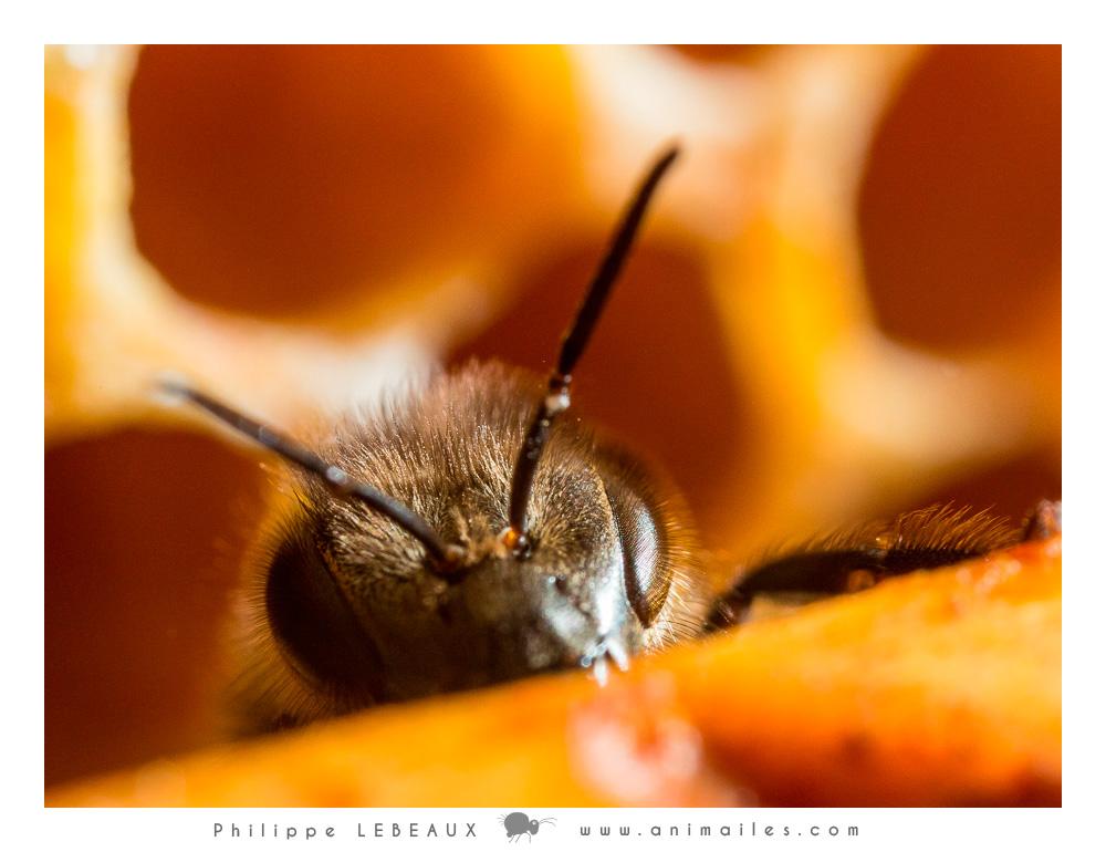 Détail de la tête d'une abeille