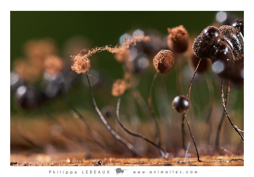 Myxomycetes Comatricha nigra