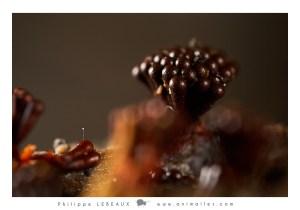 Metatrichia vesparium avec spermatophore de collembole