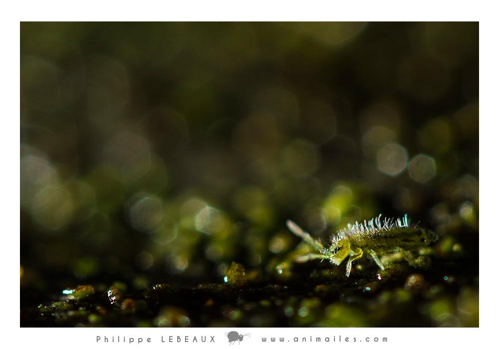 Collembole Isotoma viridis