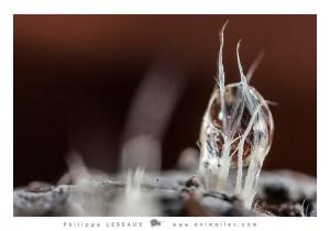 Spermatophore collembole et goutte d'eau