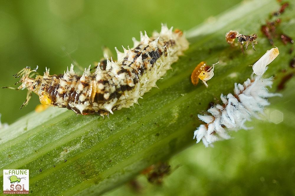 larve de syrphe