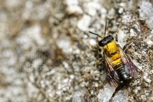 Abeille solitaire - Andrène sp. recouverte de pollen