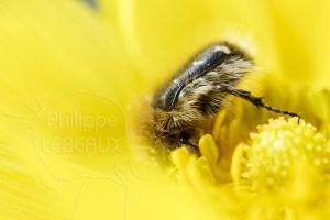 La cétoine velue - Tropinota hirta dans fleur jaune