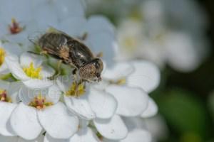 Syrphe sp. butinant sur une fleur d'ibéris