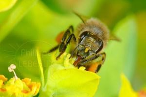L'abeille noire - Apis Mellifera Mellifera vue de face butinant une fleur d'euphorbe