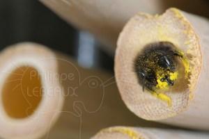 Osmie cornue - Osmia cornuta vue de face avec des grains de pollen