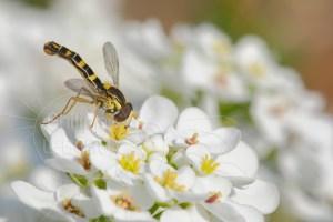 Syrphe - Sphaerophoria scripta butinant une fleur d'ibéris