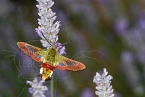 Sphinx gazé - Hemaris fuciformis en vol ailes figées