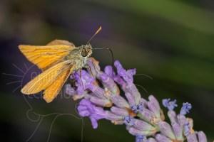 Papillon Hespérie de la houque - Thymelicus sylvestris butinant sur la lavande