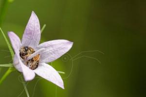 Abeille sauvage - Melitta haemorrhoidalis dormant dans une fleur de Campanule