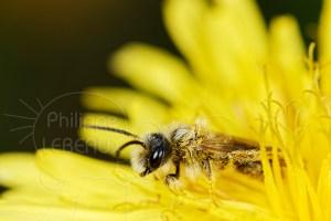 Abeille solitaire - Andrena vaga butinant dans une fleur de pissenlit