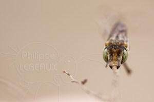 Abeille sauvage - Coellioxyx sp. photographiée de face