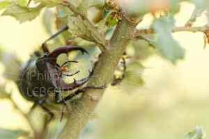 Plan rapproché sur un mâle de Lucane cerf-volant