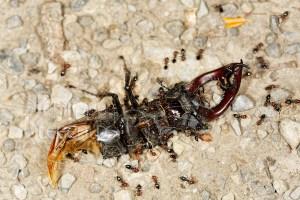 Mâle de Lucane cerf-volant mort, avec fourmies Crematogaster scutellaris