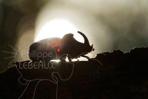 Scarabée rhinocéros européen mâle en contre-jour