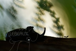 Scarabée rhinocéros européen mâle en contre-jour avec fourmi Crematogaster scutellaris