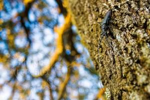 Grand capricorne photographié sur un chêne vert