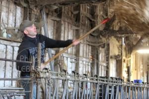 Chevrier dans chevrerie jettant une balle de foin