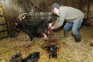 Chevrier aidant une chèvre à mettre bas