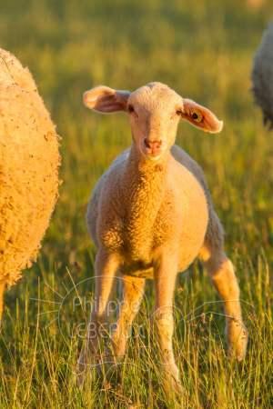 jeune agneau en plan rapproché