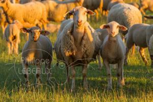 Brebis avec ses deux agneaux