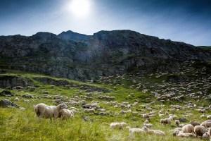 troupeau de moutons en montagne