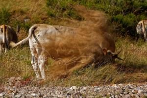 Vache qui gratte le sol avec projections de terre