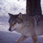 Gestion de la cohabitation du Loup et des activités pastorales :  mieux protéger les troupeaux et reconnaître l'utilité du loup