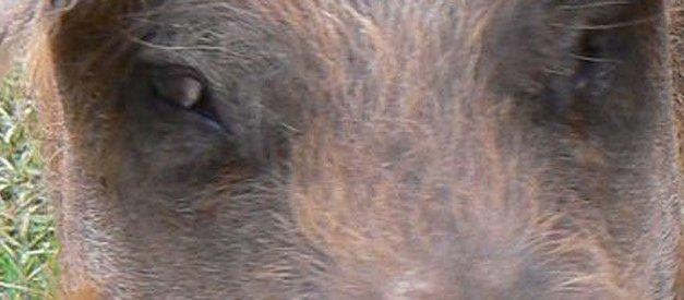 Porcs : tranches de vie…