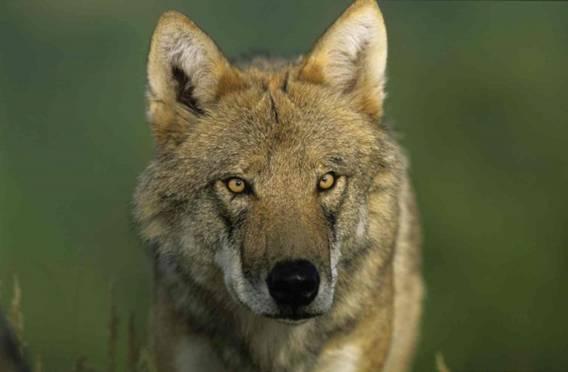 Des personnalités hurlent pour les loups ! #SOSloups