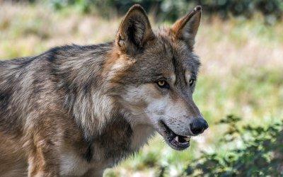 Consultation publique sur le loup : mobilisons-nous avant le 13 septembre