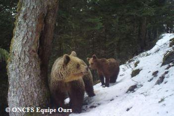 Connaîtrons-nous un jour le vrai bilan des dégâts d'ours dans les Pyrénées … ?