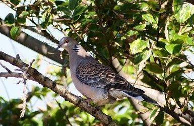 Premières conséquences de la gestion adaptative des espèces mise en place par le ministère sur 3 espèces d'oiseaux consternante !