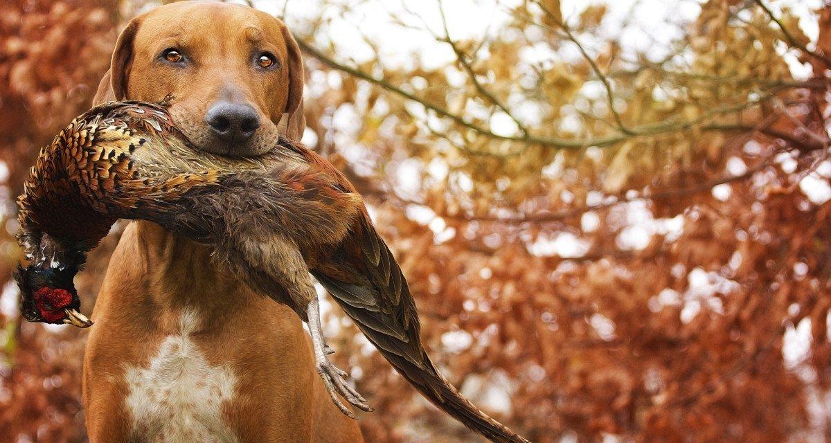 Chiens de chasse : des races créées et dénaturées pour chasser