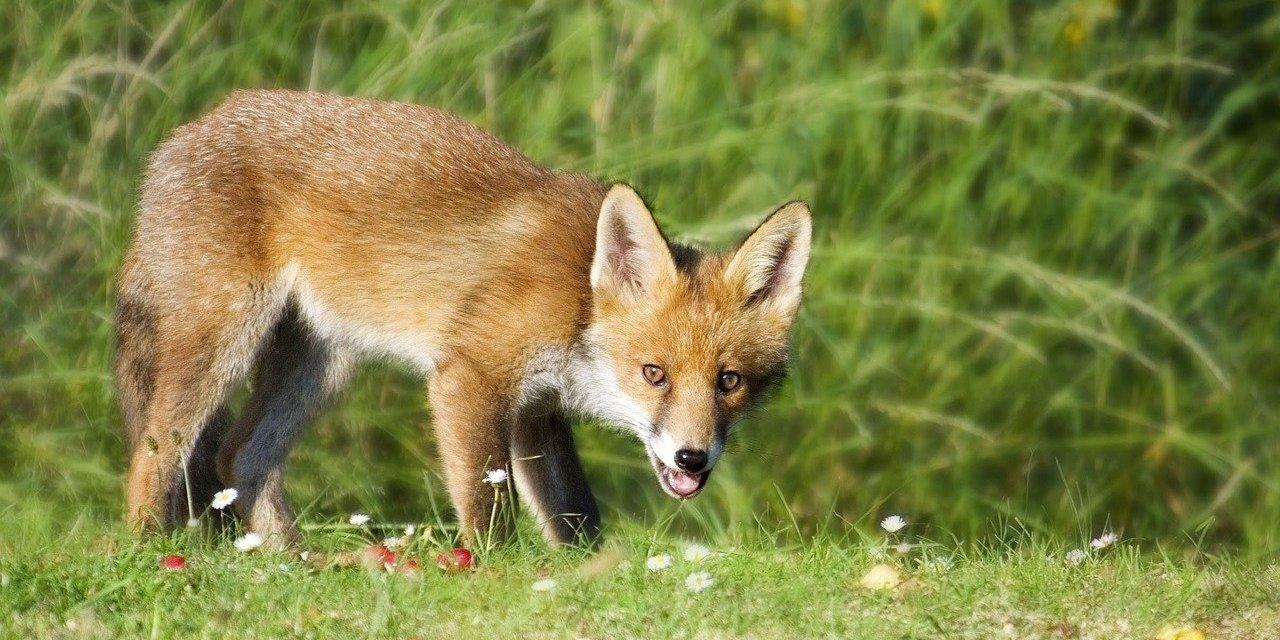 Le déterrage des renards : un combat sans risque, sans mérite et sans gloire