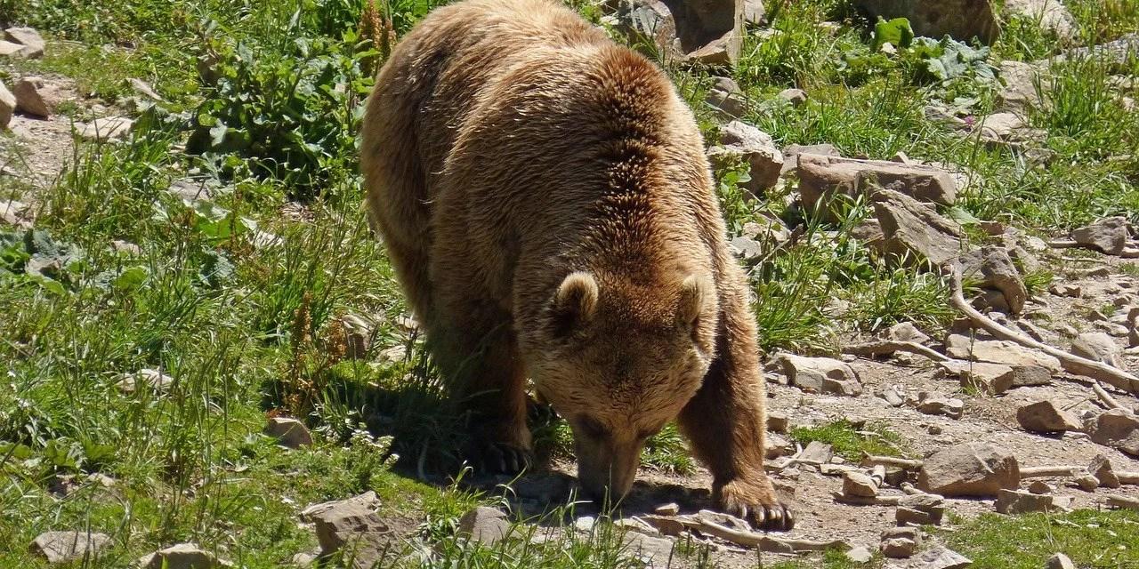 Sondage : les Français sont nettement favorables au remplacement des ours tués par l'homme dans les Pyrénées