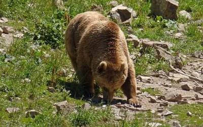 Protection des troupeaux et conditionnalité des indemnisations : l'arlésienne des estives