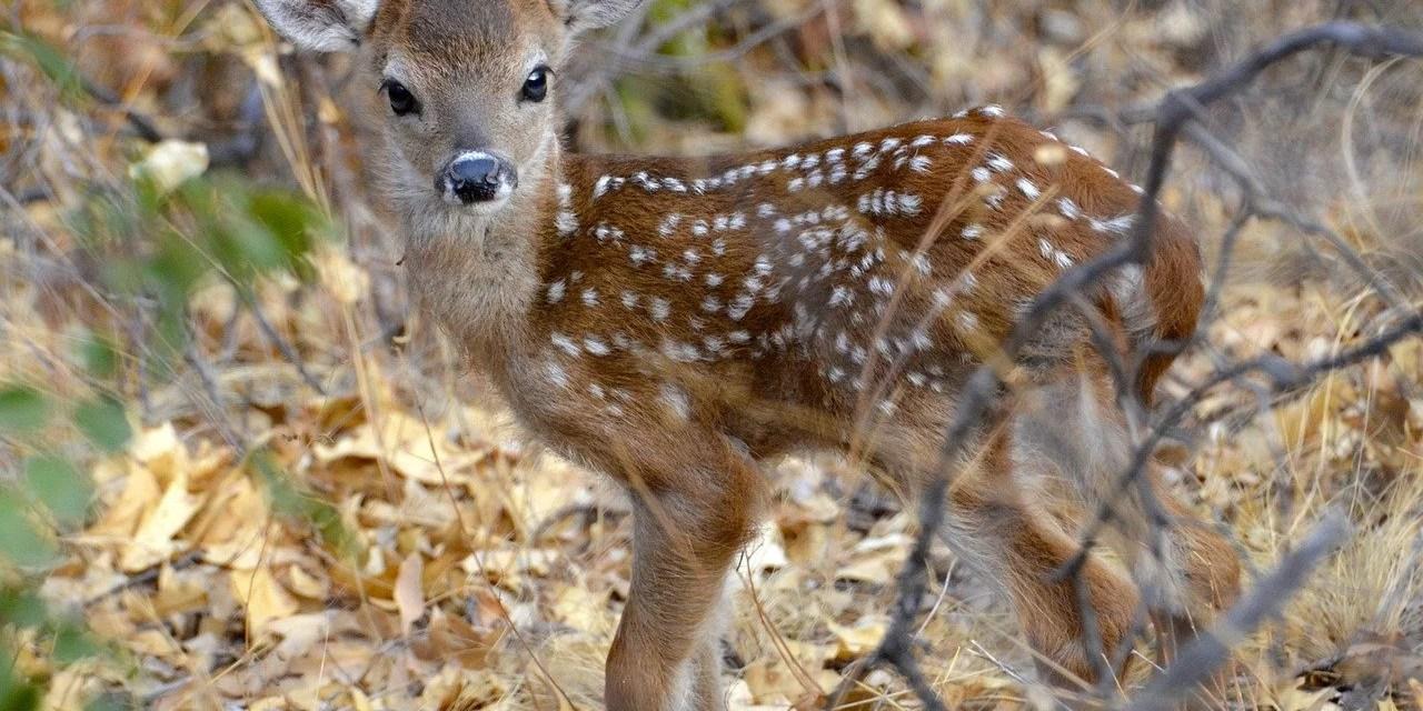 Bambi ne finira pas sous vos roues ce printemps !