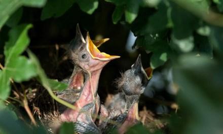 Taille de printemps et nidification : stop au massacre des oiseaux