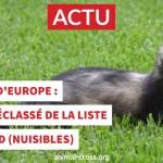 """Le putois d'Europe déclassé de la liste des """"nuisibles"""" !"""