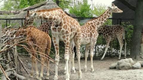 Giraffes in Copenhagen Zoo