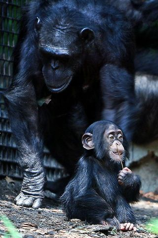 Chimpanzee mother sitting with child who is putting a stick in his nostril.